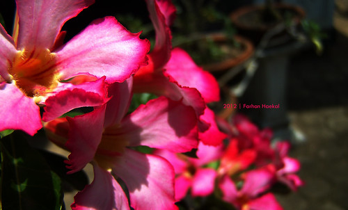 morning pink red flower nature beautiful sunrise kodak weekend waterdrops jepang kamboja adenium z650 flickraward kambojajepang merahmuda
