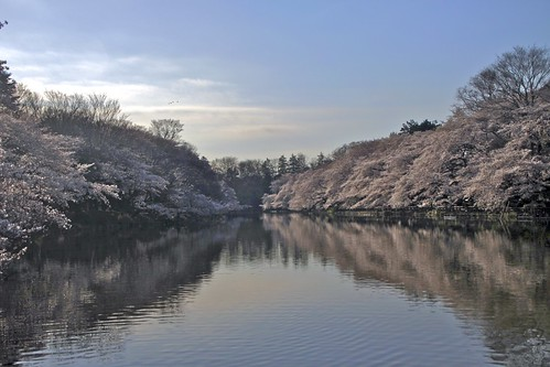 park pink blue sky flower reflection spring pond 桜 cherryblossom sakura inokashira 井の頭公園 fullbloom