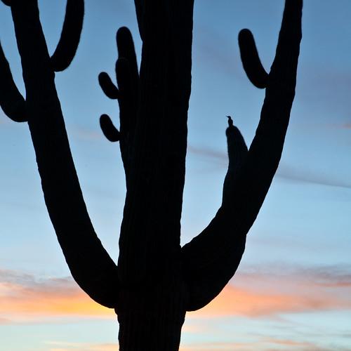 sunset arizona cactus sky southwest nature birds silhouette canon landscape desert scenic saguaro gilawoodpecker mygearandme mygearandmepremium mygearandmebronze carpenterranch