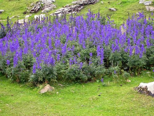 Aconitum napellus (tora blava, acònit, matallops) - RANUNCULACEAE