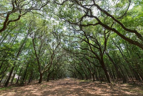 vacation tree georgia savannah wormsloe