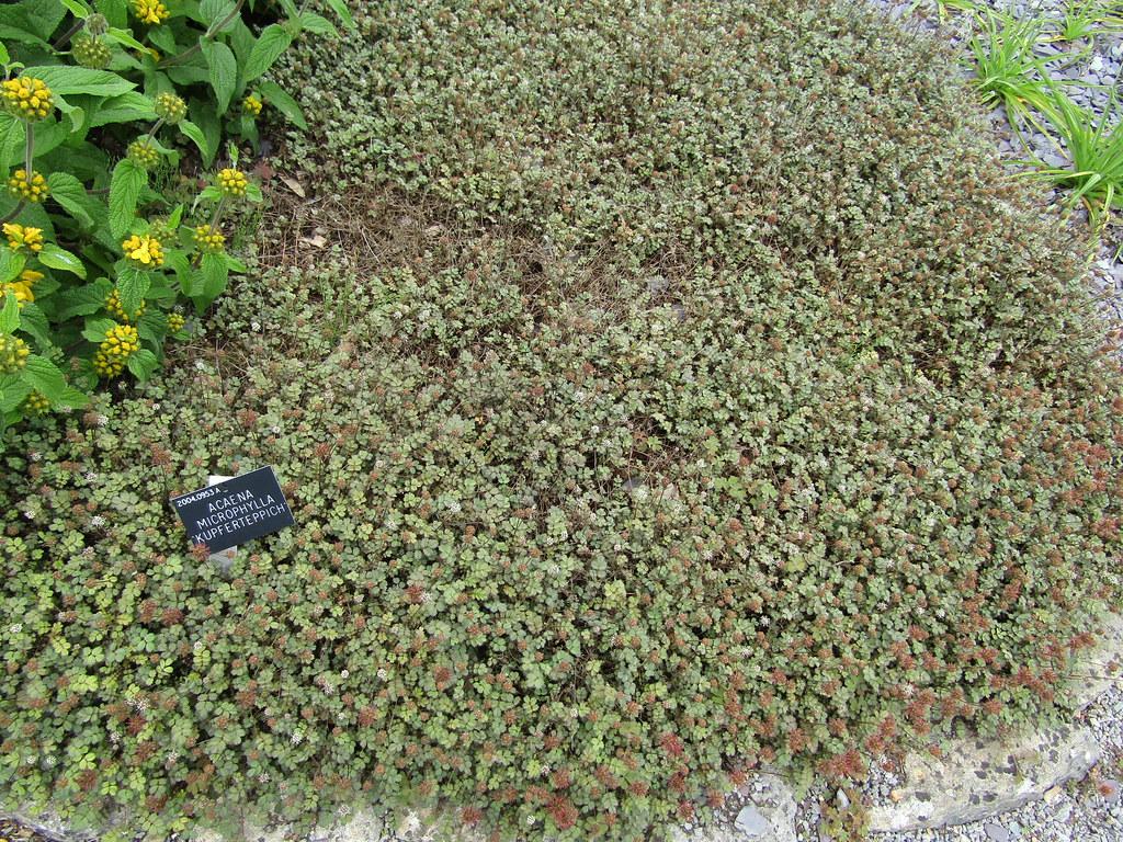 Acaena Microphylla Kupferteppich Sir Harold Hillier Gard Flickr