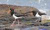 Pied Oystercatcher Haematopus longirostris with chick DSC_0883 by Mary Bomford