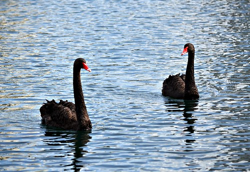 black swans | by ianthes