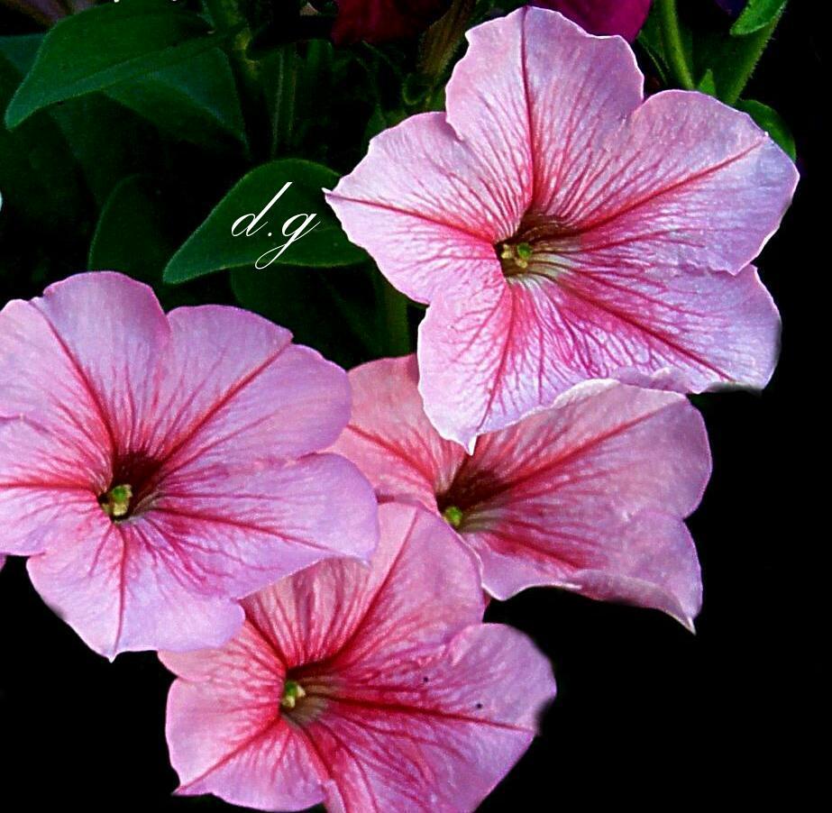 Nomi Di Fiori.In America La Petunia Viene Chiamata Con I Nomi Di Fiore Flickr
