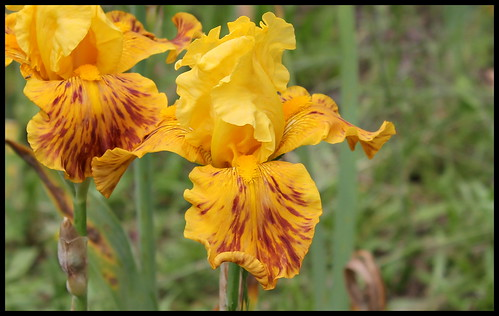 Identification Iris n°1 - Claire 27584254495_cd8f0a1c67