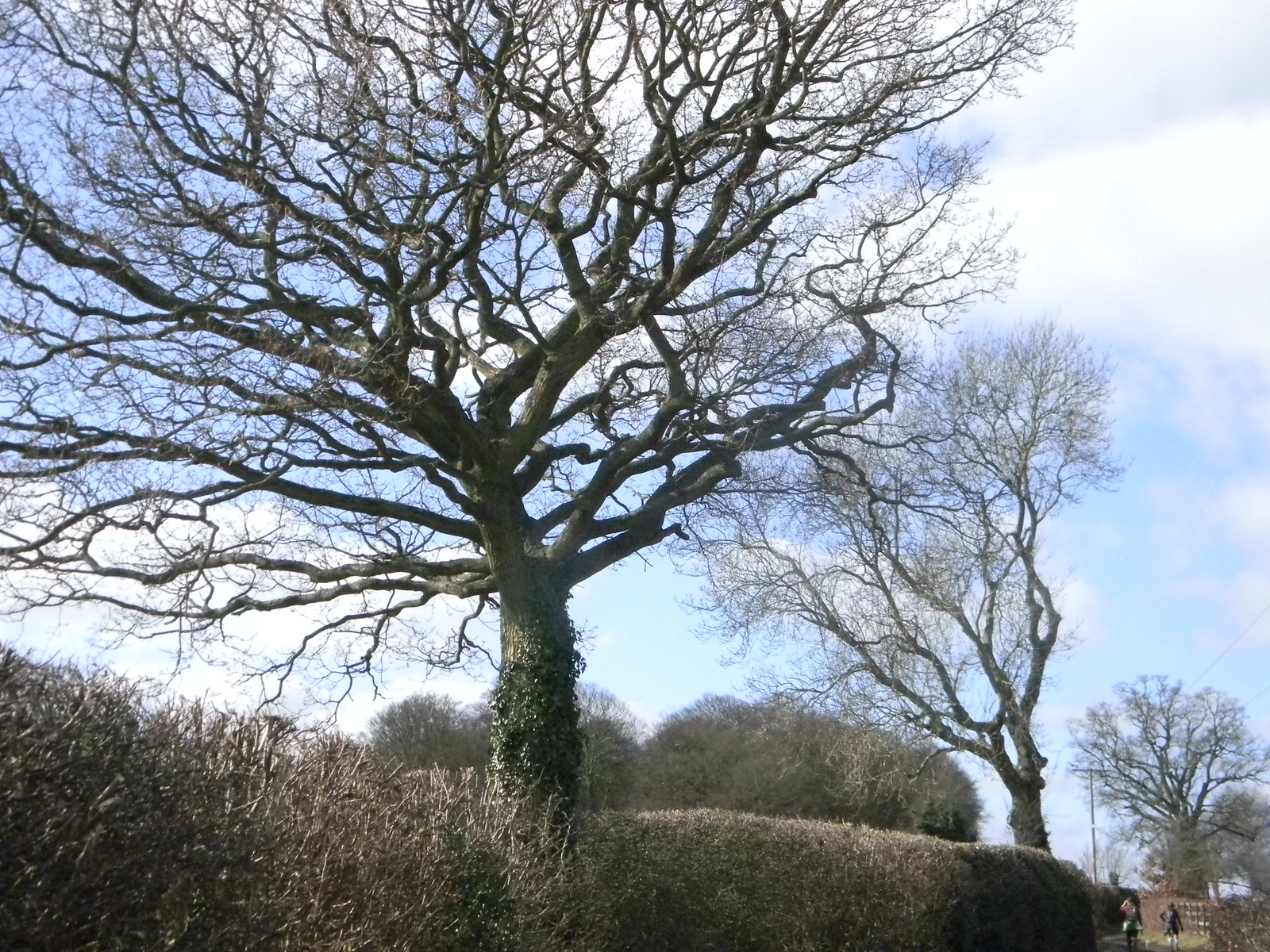 Big tree, little tree Chesham to Great Missenden