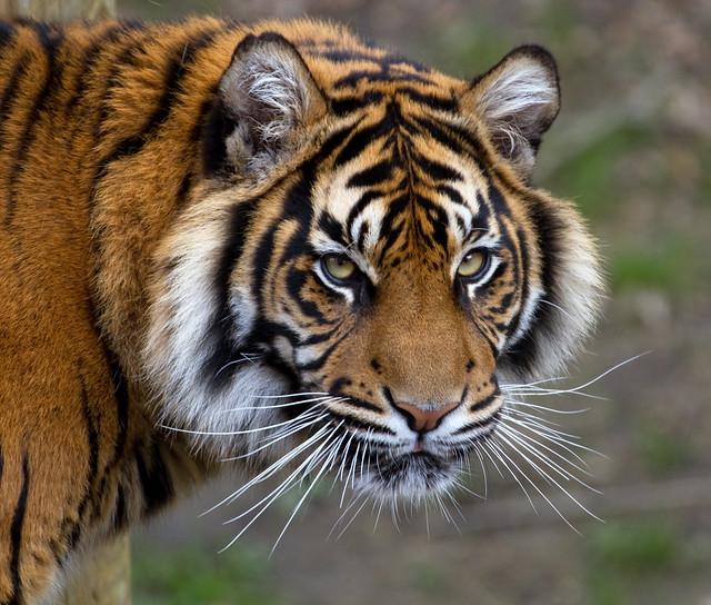 Sumatran Tiger 5