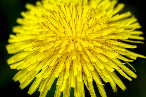 plant flower detail macro texture closeup canon weed pattern dof outdoor connecticut ct dandelion depthoffield bloom blooming organicpattern 5diii