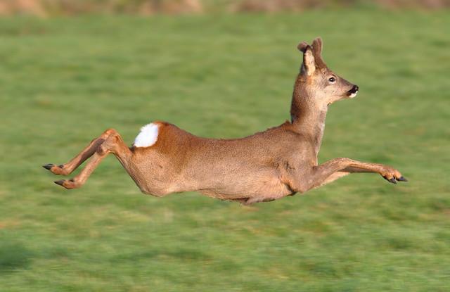 Roe Deer - Buck