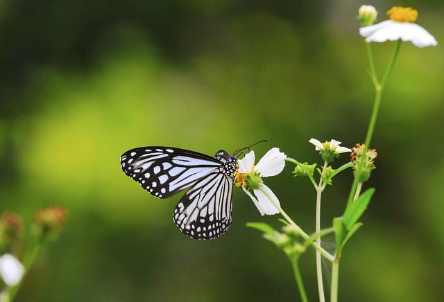 Glassy Tiger 絹斑蝶 : Feeding . . .