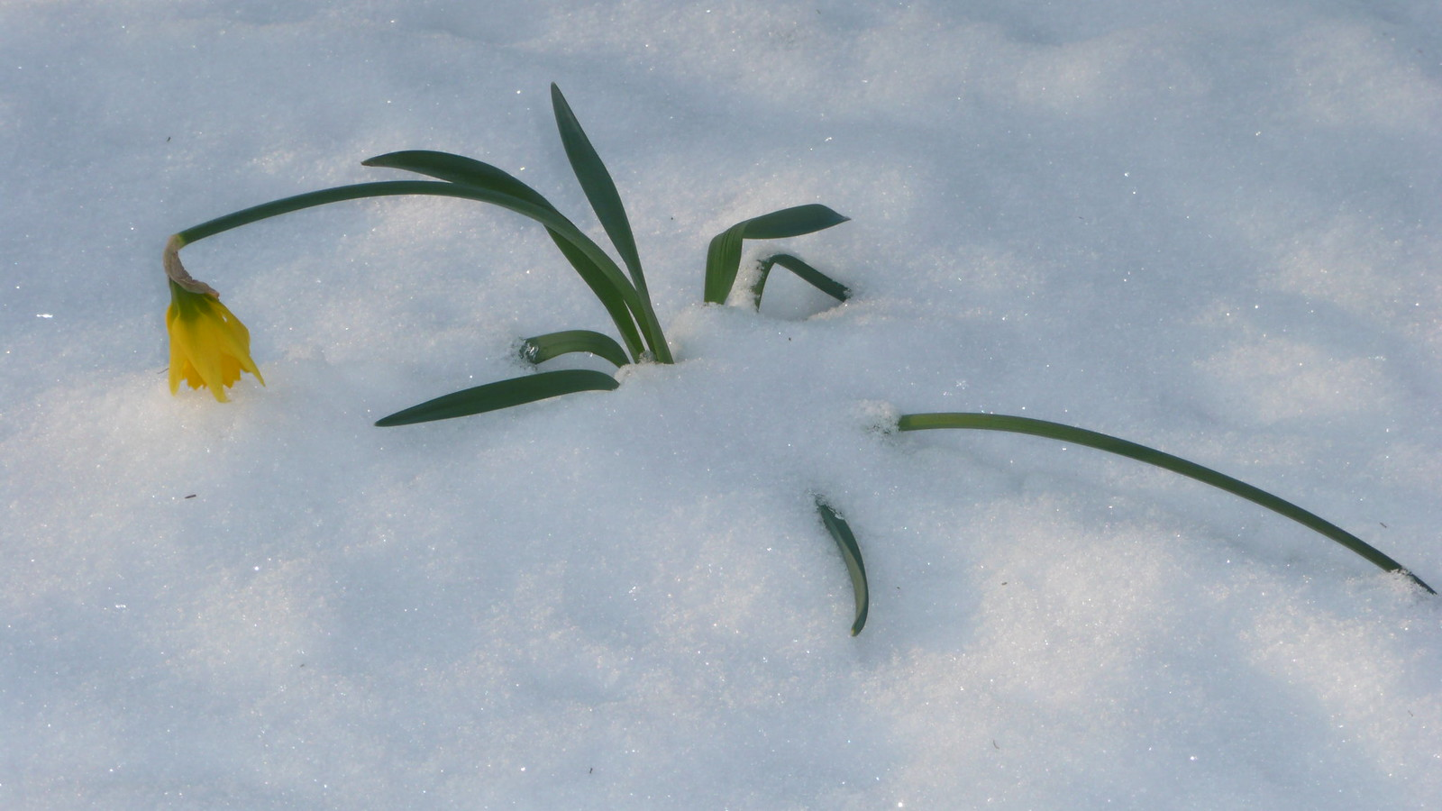 Daffodill in the snow