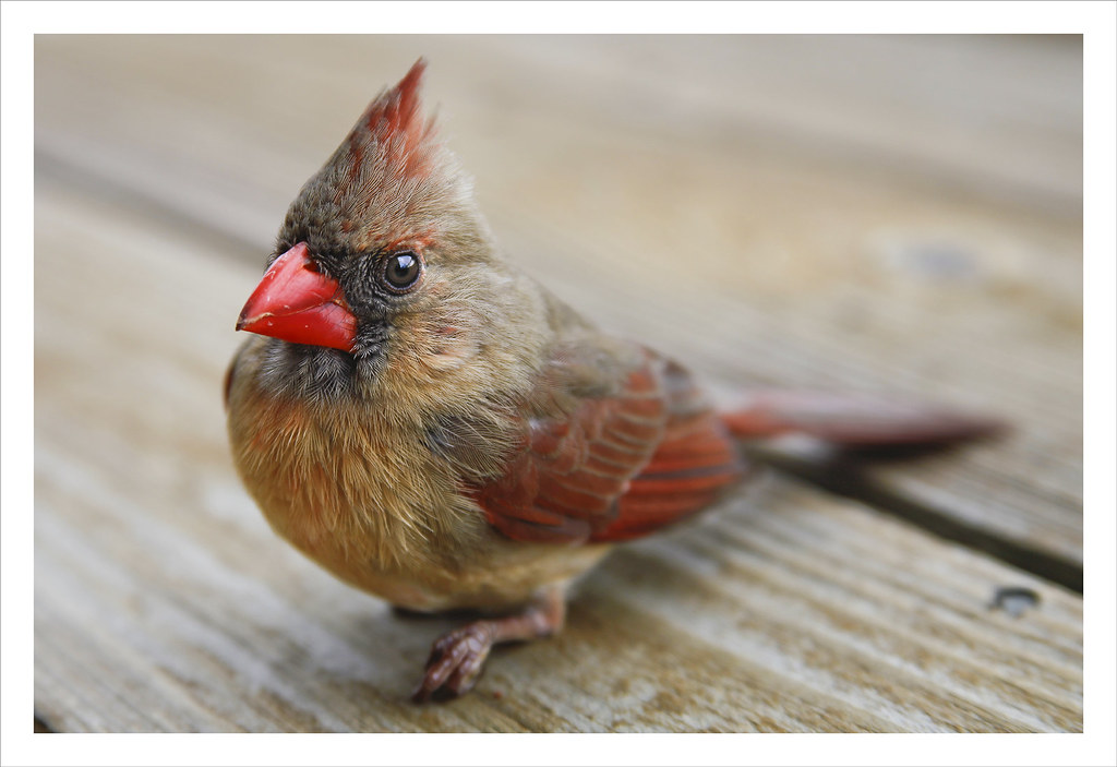Cardinal visitor | She was stunned from hitting the window