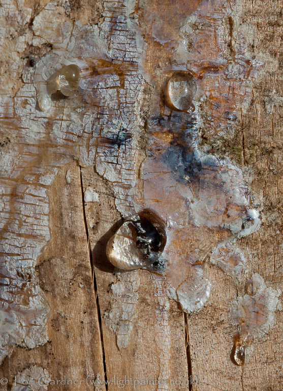 Resin running from a wound on a conifer