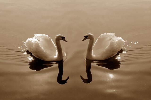 Cigni - Swans [Explore 2012/03/26 -  #24]
