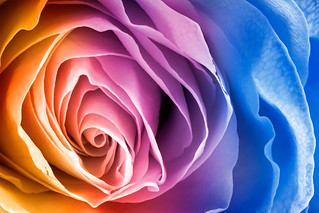Rainbow Rose Macro | by Bold Frontiers