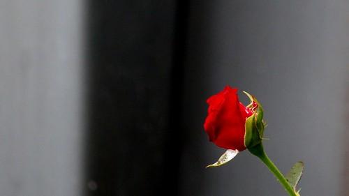 Rose ~ Paris ~ MjYj | by MjYj ~ IamJ