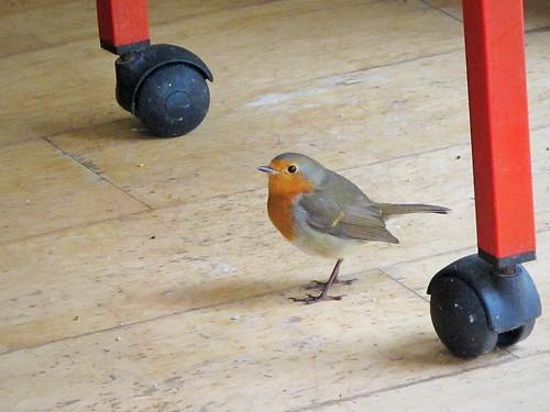 ireland irish bird robin fauna floor cork newmarket canong11 mountainviewbb 2015onephotoeachday
