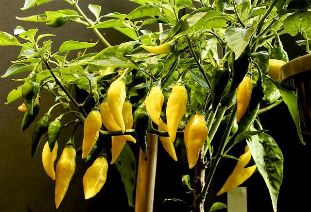 Capsicum chinense 'Limon'