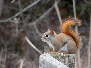 Red Squirrel | by gmspanek