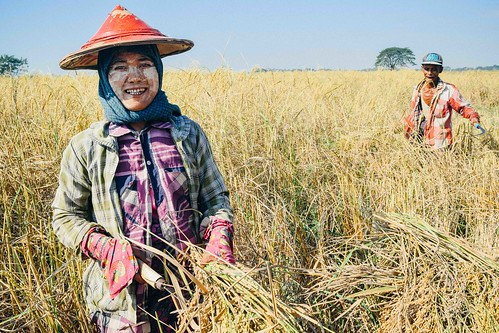 Myanmar rice harvest yields 6.6 tons, will supply staple ingredient in over 45,000 meals for children | by Peace Gospel