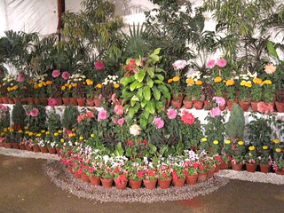 PHOTO BY SYED IRFAN ZUBERI reg flowers exhibition in  karachi zoo  ---- (62)