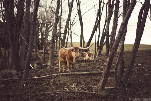 animal 35mm canon eos cow texas cattle f14 7d longhorn steer 35l f14l