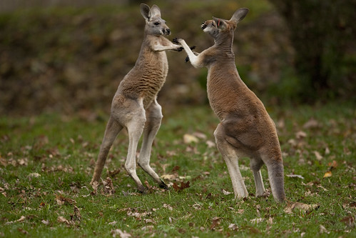 Kangaroo Boxing | by Scott_Calleja