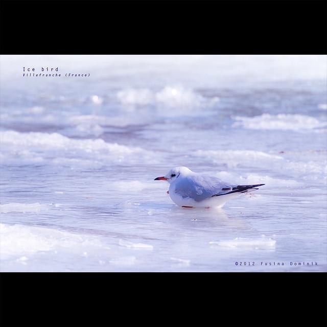 Ice Bird   Villefranche (France)