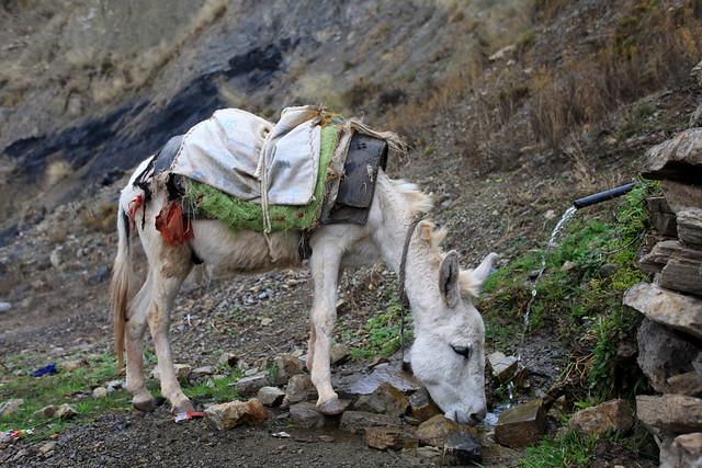 White donkey drinking water from a natural spring, near Moolia village Khyber Pakhtunkhwa, Pakistan