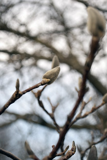 Magnolia Tree: Spring Is Coming | by chrismetcalfTV