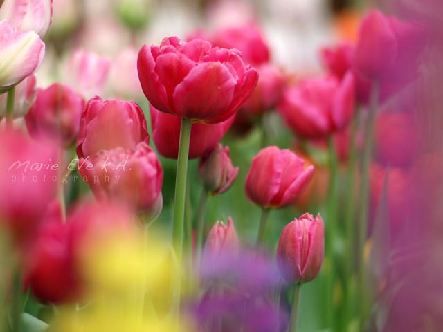 tulip, tulip, tulip ♥