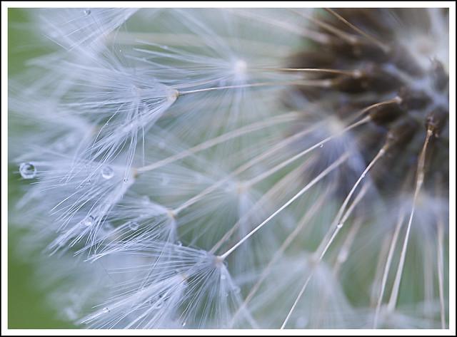soffione dopo la pioggia - dandelion after rain
