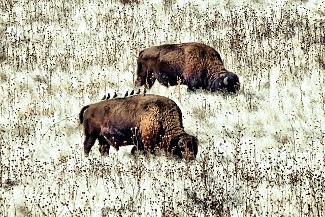 Seven Birds and Two Bison (Robert Lax Reflection below)