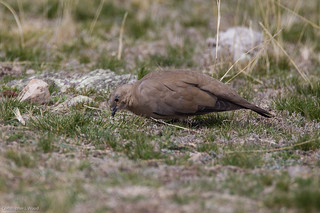 Black-winged Ground-Dove | by zeledonia