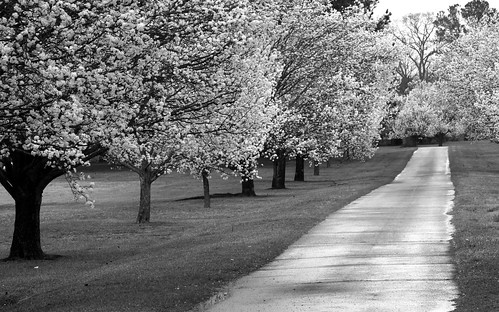 trees blackandwhite landscape spring rainyday blossom northcarolina driveway 54 allee bradfordpear newbern 112picturesin2012