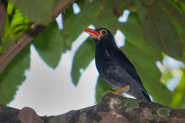 Sabiá-una (Turdus flavipes flavipes) - Macho