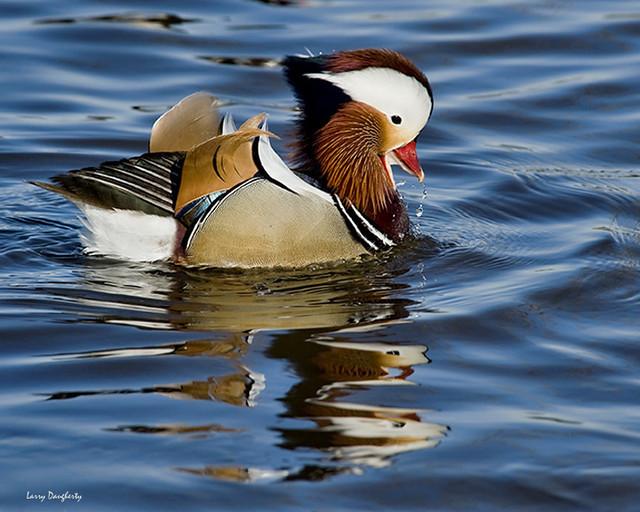 Mandarin duck on blue water.......D700