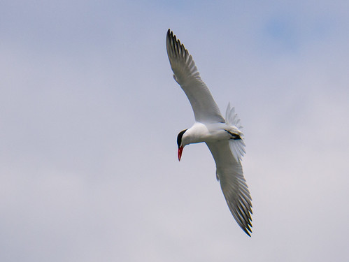 Hunting Terns