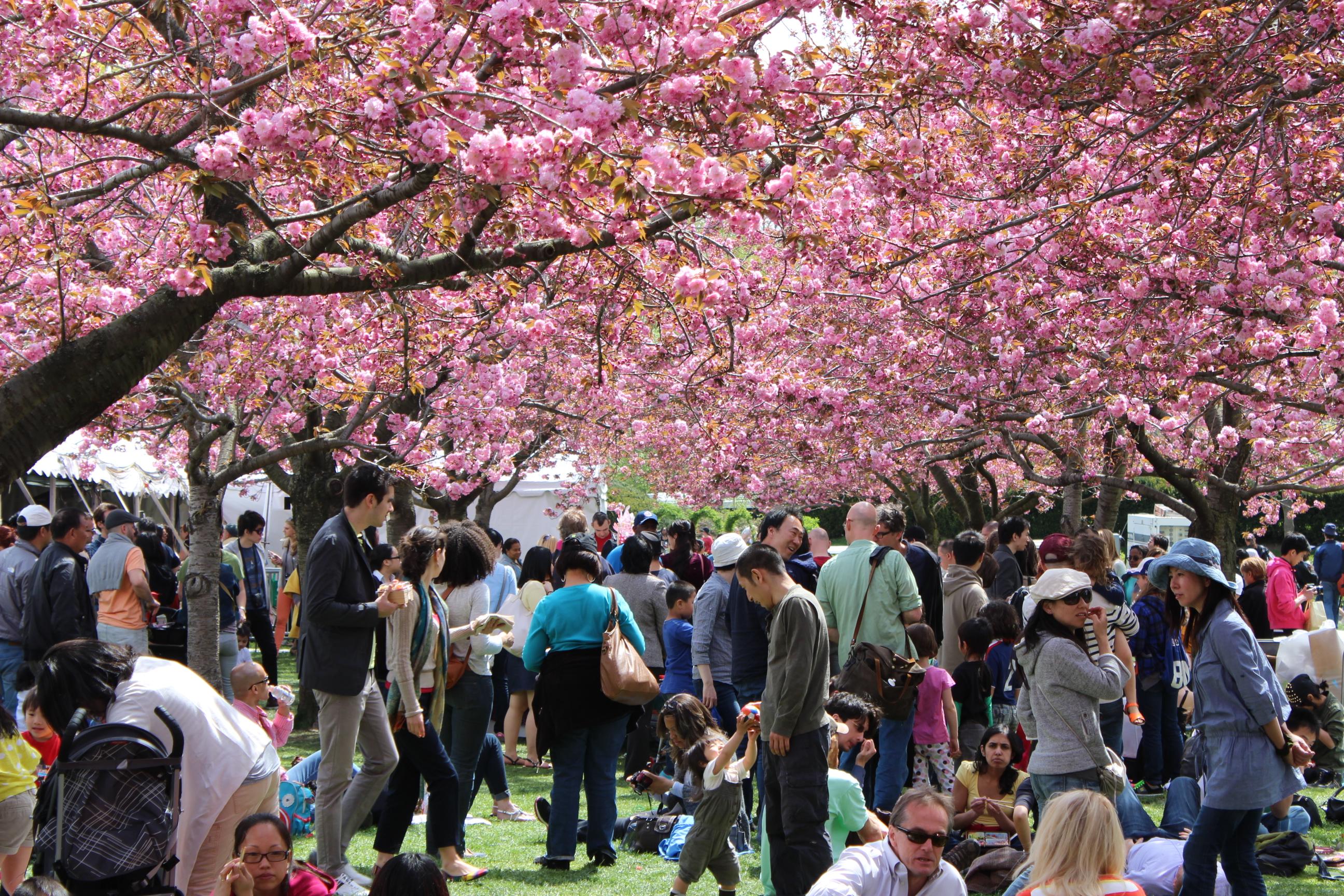 Sakura Matsuri Brooklyn Botanical Garden CHERRY BLOSSOM Festival