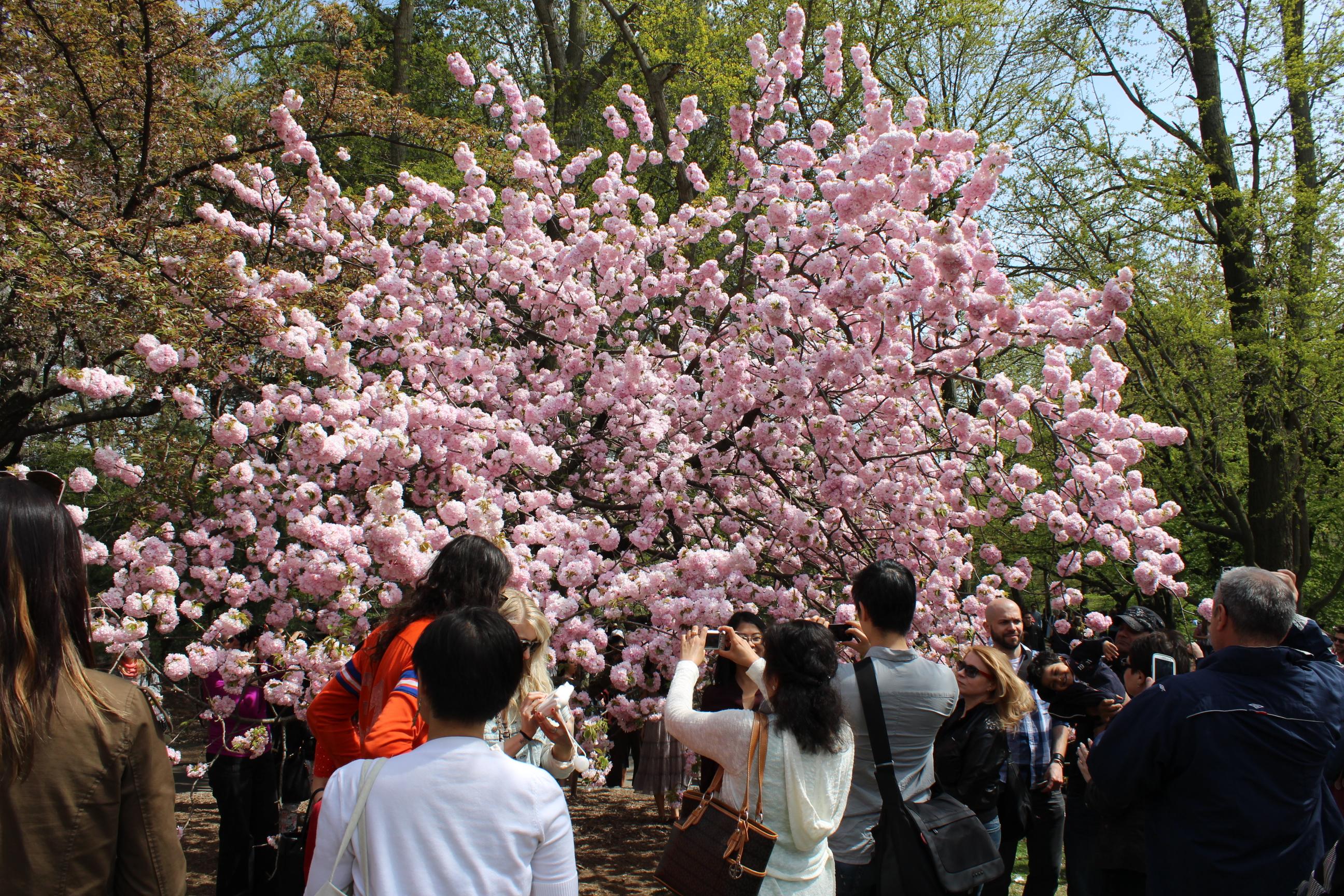 Sakura Matsuri Brooklyn Botanical Garden CHERRY BLOSSOM Festival snacks