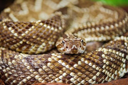 Rattlesnake with nice pattern   by Tambako the Jaguar