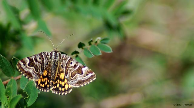 Mother Shipton Moth / M negra /Polilla