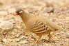 Sand Partridge (Ammoperdix heyi) by www.pbase.com/davebarnes