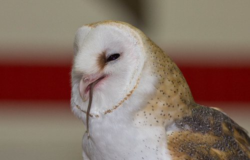 Barn Owl eating a mouse