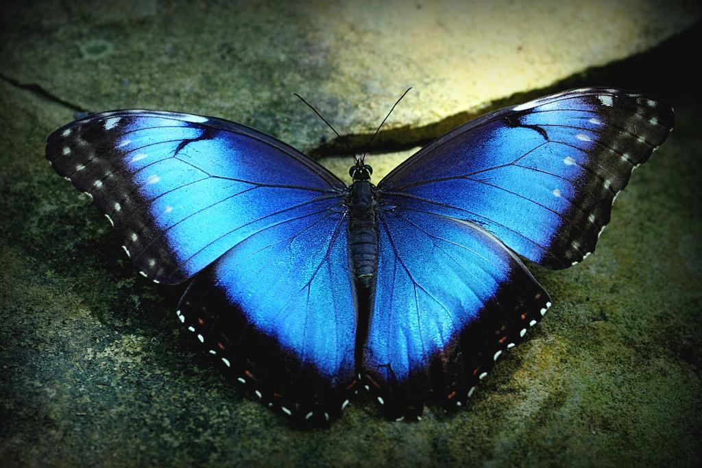 Blue Morpho Blue Morpho Butterfly Butterflies In The Ga Flickr