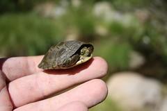 YB turtle