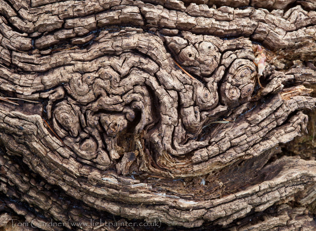 Burr detail on a decaying oak tree