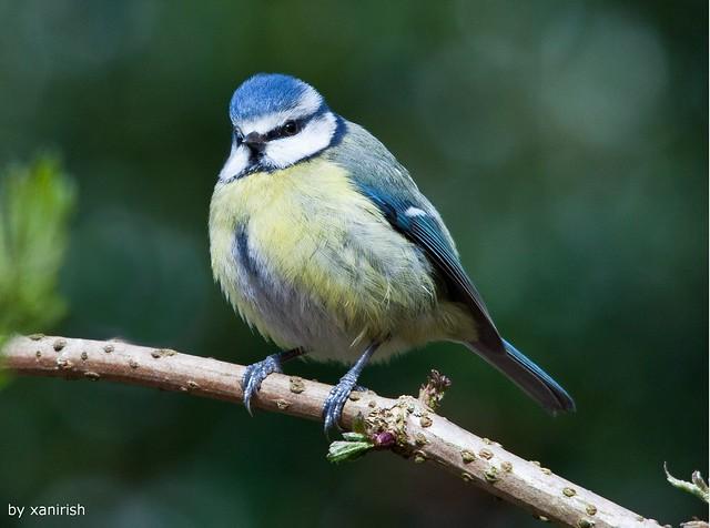 Chapim-azul (Parus caeruleus) - em Liberdade [WilLife]