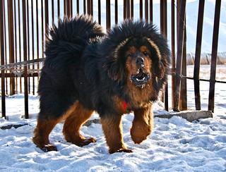 Tibetan Mastiff | by Monreve2009